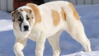 У Машівці собака породи алабай покусав дитину