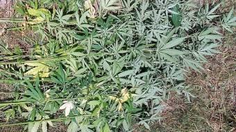 Поліцейські виявили рослини конопель у жителя Кобеляцького району