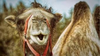 Один худий верблюд проти сотні селян