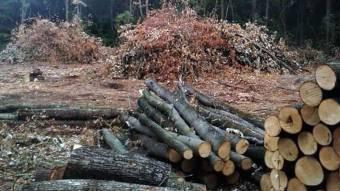 Керівник лісгоспу відзвітується заспиляні дуби і ясени
