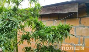 У  Миргородському  районі росте 1,5-метрова конопля