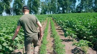 У Миргородському районі знайшли цілу «плантацію» коноплі посеред соняшникового поля